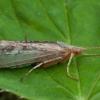 Apsiuva - Limnephilus flavicornis ♀ | Fotografijos autorius : Žilvinas Pūtys | © Macrogamta.lt | Šis tinklapis priklauso bendruomenei kuri domisi makro fotografija ir fotografuoja gyvąjį makro pasaulį.