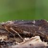 Apsiuva - Limnephilus sparsus ♀ | Fotografijos autorius : Žilvinas Pūtys | © Macrogamta.lt | Šis tinklapis priklauso bendruomenei kuri domisi makro fotografija ir fotografuoja gyvąjį makro pasaulį.