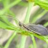 Apsiuva - Lepidostoma basale | Fotografijos autorius : Kazimieras Martinaitis | © Macrogamta.lt | Šis tinklapis priklauso bendruomenei kuri domisi makro fotografija ir fotografuoja gyvąjį makro pasaulį.