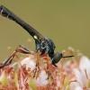 Plėšriamusė - Dioctria hyalipennis | Fotografijos autorius : Gintautas Steiblys | © Macrogamta.lt | Šis tinklapis priklauso bendruomenei kuri domisi makro fotografija ir fotografuoja gyvąjį makro pasaulį.