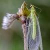 Auksaakė | Lacewing | Chrysopa sp. | Fotografijos autorius : Darius Baužys | © Macrogamta.lt | Šis tinklapis priklauso bendruomenei kuri domisi makro fotografija ir fotografuoja gyvąjį makro pasaulį.