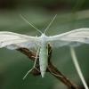 Baltasis pirštasparnis - Pterophorus pentadactyla | Fotografijos autorius : Žilvinas Pūtys | © Macrogamta.lt | Šis tinklapis priklauso bendruomenei kuri domisi makro fotografija ir fotografuoja gyvąjį makro pasaulį.