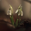 Baltoji snieguolė - Galanthus nivalis | Fotografijos autorius : Vidas Brazauskas | © Macrogamta.lt | Šis tinklapis priklauso bendruomenei kuri domisi makro fotografija ir fotografuoja gyvąjį makro pasaulį.