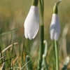 Baltoji snieguolė - Galanthus nivalis | Fotografijos autorius : Gintautas Steiblys | © Macrogamta.lt | Šis tinklapis priklauso bendruomenei kuri domisi makro fotografija ir fotografuoja gyvąjį makro pasaulį.