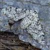 Beržinis šeriasprindis - Biston betularia ♀ | Fotografijos autorius : Romas Ferenca | © Macrogamta.lt | Šis tinklapis priklauso bendruomenei kuri domisi makro fotografija ir fotografuoja gyvąjį makro pasaulį.