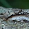 Beržinis kuodis - Pheosia gnoma | Fotografijos autorius : Žilvinas Pūtys | © Macrogamta.lt | Šis tinklapis priklauso bendruomenei kuri domisi makro fotografija ir fotografuoja gyvąjį makro pasaulį.