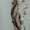 Beržinis kuodis - Pheosia gnoma | Fotografijos autorius : Vytautas Gluoksnis | © Macrogamta.lt | Šis tinklapis priklauso bendruomenei kuri domisi makro fotografija ir fotografuoja gyvąjį makro pasaulį.