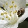 Boružės lėliukė? | Fotografijos autorius : Vidas Brazauskas | © Macrogamta.lt | Šis tinklapis priklauso bendruomenei kuri domisi makro fotografija ir fotografuoja gyvąjį makro pasaulį.