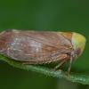 Cikadėlė - Pediopsis tiliae   Fotografijos autorius : Žilvinas Pūtys   © Macrogamta.lt   Šis tinklapis priklauso bendruomenei kuri domisi makro fotografija ir fotografuoja gyvąjį makro pasaulį.