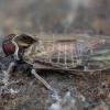 Cikada - Hyalesthes obsoletus | Fotografijos autorius : Žilvinas Pūtys | © Macrogamta.lt | Šis tinklapis priklauso bendruomenei kuri domisi makro fotografija ir fotografuoja gyvąjį makro pasaulį.