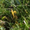 Gelsvasis žagarenis - Clavulinopsis helvola   Fotografijos autorius : Vytautas Gluoksnis   © Macrogamta.lt   Šis tinklapis priklauso bendruomenei kuri domisi makro fotografija ir fotografuoja gyvąjį makro pasaulį.