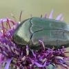 Dėmėtasis auksavabalis - Protaetia cuprea | Fotografijos autorius : Gintautas Steiblys | © Macrogamta.lt | Šis tinklapis priklauso bendruomenei kuri domisi makro fotografija ir fotografuoja gyvąjį makro pasaulį.