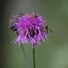Didžiagalvė bajorė - Centaurea scabiosa | Fotografijos autorius : Kęstutis Obelevičius | © Macrogamta.lt | Šis tinklapis priklauso bendruomenei kuri domisi makro fotografija ir fotografuoja gyvąjį makro pasaulį.