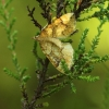 Drebulinis juostasprindis, Eulithis populata | Fotografijos autorius : Vidas Brazauskas | © Macrogamta.lt | Šis tinklapis priklauso bendruomenei kuri domisi makro fotografija ir fotografuoja gyvąjį makro pasaulį.