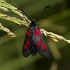 Mažasis marguolis - Zygaena viciae | Fotografijos autorius : Irenėjas Urbonavičius | © Macrogamta.lt | Šis tinklapis priklauso bendruomenei kuri domisi makro fotografija ir fotografuoja gyvąjį makro pasaulį.