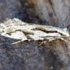 Dryžuotoji grūdinė kandis - Archinemapogon yildizae | Fotografijos autorius : Romas Ferenca | © Macrogamta.lt | Šis tinklapis priklauso bendruomenei kuri domisi makro fotografija ir fotografuoja gyvąjį makro pasaulį.