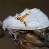 Dvispalvis kuoduotis - Leucodonta bicoloria | Fotografijos autorius : Žilvinas Pūtys | © Macrogamta.lt | Šis tinklapis priklauso bendruomenei kuri domisi makro fotografija ir fotografuoja gyvąjį makro pasaulį.