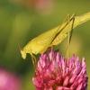 Lakštasparnis pjūklius – Phaneroptera falcata | Fotografijos autorius : Agnė Našlėnienė | © Macrogamta.lt | Šis tinklapis priklauso bendruomenei kuri domisi makro fotografija ir fotografuoja gyvąjį makro pasaulį.