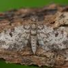 Eglinis sprindytis - Eupithecia tantillaria | Fotografijos autorius : Žilvinas Pūtys | © Macrogamta.lt | Šis tinklapis priklauso bendruomenei kuri domisi makro fotografija ir fotografuoja gyvąjį makro pasaulį.
