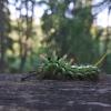Eglinis verpikas - Calliteara abietis | Fotografijos autorius : Boris Belchev | © Macrogamta.lt | Šis tinklapis priklauso bendruomenei kuri domisi makro fotografija ir fotografuoja gyvąjį makro pasaulį.