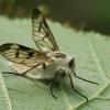 Entomophthora muscae | Fotografijos autorius : Gintautas Steiblys | © Macrogamta.lt | Šis tinklapis priklauso bendruomenei kuri domisi makro fotografija ir fotografuoja gyvąjį makro pasaulį.