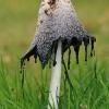 Gauruotasis mėšlagrybis - Coprinus comatus   Fotografijos autorius : Gintautas Steiblys   © Macrogamta.lt   Šis tinklapis priklauso bendruomenei kuri domisi makro fotografija ir fotografuoja gyvąjį makro pasaulį.