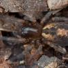 Gelsvapilvis niūrvoris - Amaurobius fenestralis | Fotografijos autorius : Žilvinas Pūtys | © Macrogamta.lt | Šis tinklapis priklauso bendruomenei kuri domisi makro fotografija ir fotografuoja gyvąjį makro pasaulį.