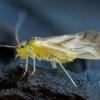 Geltonasis šiengraužis - Valenzuela flavidus | Fotografijos autorius : Žilvinas Pūtys | © Macrogamta.lt | Šis tinklapis priklauso bendruomenei kuri domisi makro fotografija ir fotografuoja gyvąjį makro pasaulį.