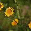 Geltonasis bobramunis - Cota tinctoria | Fotografijos autorius : Kęstutis Obelevičius | © Macrogamta.lt | Šis tinklapis priklauso bendruomenei kuri domisi makro fotografija ir fotografuoja gyvąjį makro pasaulį.