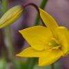 Girinė tulpė - Tulipa sylvestris   Fotografijos autorius : Nomeda Vėlavičienė   © Macrogamta.lt   Šis tinklapis priklauso bendruomenei kuri domisi makro fotografija ir fotografuoja gyvąjį makro pasaulį.