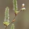Gluosnis - Salix sp.   Fotografijos autorius : Gintautas Steiblys   © Macrogamta.lt   Šis tinklapis priklauso bendruomenei kuri domisi makro fotografija ir fotografuoja gyvąjį makro pasaulį.