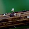 Žolinė kalicina - Calycina herbarum | Fotografijos autorius : Romas Ferenca | © Macrogamta.lt | Šis tinklapis priklauso bendruomenei kuri domisi makro fotografija ir fotografuoja gyvąjį makro pasaulį.