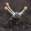 Grybas - Polycephalomyces cf. ramosus   Fotografijos autorius : Žilvinas Pūtys   © Macrogamta.lt   Šis tinklapis priklauso bendruomenei kuri domisi makro fotografija ir fotografuoja gyvąjį makro pasaulį.