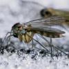 Grybinis uodukas - Exechia cf. fusca | Fotografijos autorius : Gintautas Steiblys | © Macrogamta.lt | Šis tinklapis priklauso bendruomenei kuri domisi makro fotografija ir fotografuoja gyvąjį makro pasaulį.