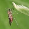 Gumbauodis - Lasiopteridi | Fotografijos autorius : Gintautas Steiblys | © Macrogamta.lt | Šis tinklapis priklauso bendruomenei kuri domisi makro fotografija ir fotografuoja gyvąjį makro pasaulį.