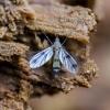 Grybinis uodukas - Mycetophila sp. | Fotografijos autorius : Kazimieras Martinaitis | © Macrogamta.lt | Šis tinklapis priklauso bendruomenei kuri domisi makro fotografija ir fotografuoja gyvąjį makro pasaulį.