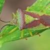 Gudobelinė skydblakė - Acanthosoma haemorrhoidale | Fotografijos autorius : Gintautas Steiblys | © Macrogamta.lt | Šis tinklapis priklauso bendruomenei kuri domisi makro fotografija ir fotografuoja gyvąjį makro pasaulį.