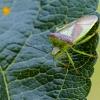 Gudobelinė skydblakė | Hawthorn shield bug | Acanthosoma haemorrhoidale | Fotografijos autorius : Darius Baužys | © Macrogamta.lt | Šis tinklapis priklauso bendruomenei kuri domisi makro fotografija ir fotografuoja gyvąjį makro pasaulį.