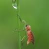 Gumbauodis - Cecidomyiidae ♀ | Fotografijos autorius : Žilvinas Pūtys | © Macrogamta.lt | Šis tinklapis priklauso bendruomenei kuri domisi makro fotografija ir fotografuoja gyvąjį makro pasaulį.