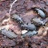 Gumburiuotasis puošniažygis - Carabus granulatus | Fotografijos autorius : Vitalii Alekseev | © Macrogamta.lt | Šis tinklapis priklauso bendruomenei kuri domisi makro fotografija ir fotografuoja gyvąjį makro pasaulį.