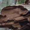 Tabokinis šiurkštenis - Hydnoporia tabacina | Fotografijos autorius : Vytautas Gluoksnis | © Macrogamta.lt | Šis tinklapis priklauso bendruomenei kuri domisi makro fotografija ir fotografuoja gyvąjį makro pasaulį.