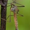 Ilgakojis uodas - Tipula autumnalis ♀ | Fotografijos autorius : Žilvinas Pūtys | © Macrogamta.lt | Šis tinklapis priklauso bendruomenei kuri domisi makro fotografija ir fotografuoja gyvąjį makro pasaulį.