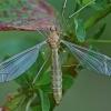 Ilgakojis uodas - Tipula fascipennis ♀ | Fotografijos autorius : Gintautas Steiblys | © Macrogamta.lt | Šis tinklapis priklauso bendruomenei kuri domisi makro fotografija ir fotografuoja gyvąjį makro pasaulį.