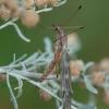 Ilgakojis uodas - Tipula signata ♀ | Fotografijos autorius : Žilvinas Pūtys | © Macrogamta.lt | Šis tinklapis priklauso bendruomenei kuri domisi makro fotografija ir fotografuoja gyvąjį makro pasaulį.