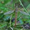 Pelkinis ilgakojis uodas - Tipula paludosa  | Fotografijos autorius : Gintautas Steiblys | © Macrogamta.lt | Šis tinklapis priklauso bendruomenei kuri domisi makro fotografija ir fotografuoja gyvąjį makro pasaulį.