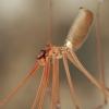 Ilgakojis virpūnėlis - Pholcus phalangioides  | Fotografijos autorius : Gintautas Steiblys | © Macrogamta.lt | Šis tinklapis priklauso bendruomenei kuri domisi makro fotografija ir fotografuoja gyvąjį makro pasaulį.
