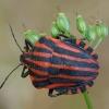 Juostelinė skydblakė - Graphosoma italicum | Fotografijos autorius : Žilvinas Pūtys | © Macrogamta.lt | Šis tinklapis priklauso bendruomenei kuri domisi makro fotografija ir fotografuoja gyvąjį makro pasaulį.