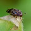 Juostuotasis niūravabalis - Orchesia undulata   Fotografijos autorius : Romas Ferenca   © Macrogamta.lt   Šis tinklapis priklauso bendruomenei kuri domisi makro fotografija ir fotografuoja gyvąjį makro pasaulį.