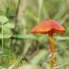 Kūginė guotenė - Hygrocybe conica ? | Fotografijos autorius : Vidas Brazauskas | © Macrogamta.lt | Šis tinklapis priklauso bendruomenei kuri domisi makro fotografija ir fotografuoja gyvąjį makro pasaulį.