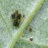 Amaras - Periphyllus lyropictus | Fotografijos autorius : Vidas Brazauskas | © Macrogamta.lt | Šis tinklapis priklauso bendruomenei kuri domisi makro fotografija ir fotografuoja gyvąjį makro pasaulį.